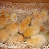 2 Day old Chicks
